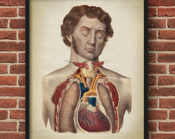 Torso Anatomy print, vintage anatomy poster, old Victorian man with sideburns medical wall art, doctor gift, anatomy poster, anatomy print