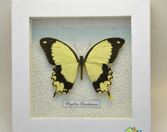 Wedding Gift  Venus symbol Framed Tropical Butterfly Papilio in white  frame