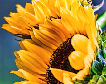 Floral Photography - Radiant Sunflowers