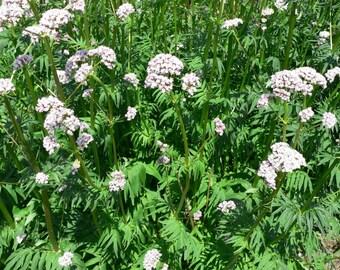 Seeds Herb Valerian Officinaclis perennials Heirloom#564