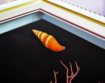 Beautiful Delicate Shell Vexillum Coccineum with Pink Coral In Quality Shadowbox