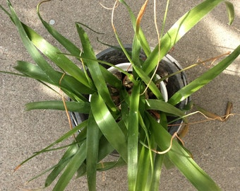 Pregnant Onion Plant-not edible-Ornithogalum Caudatum Succulent Blooming Onions or False Sea Onions