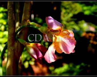 Pink Iris Digital Download