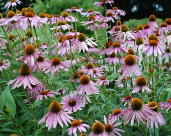 Popping Purple Coneflower ~ Echinacea ~ Perennial Bare Root
