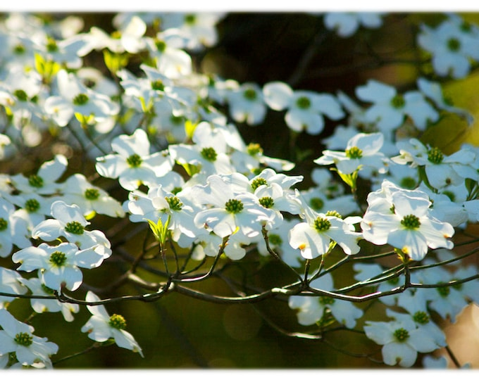 Featured listing image: Dogwood Blossoms