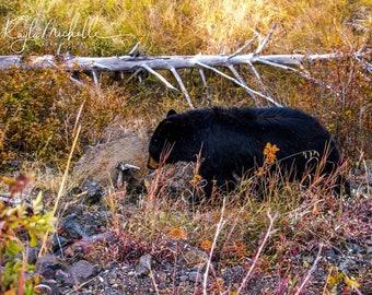 YellowStone National Park Black Bear Photograph