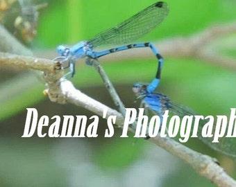 Apareamiento caballitos por Deanna Bernal