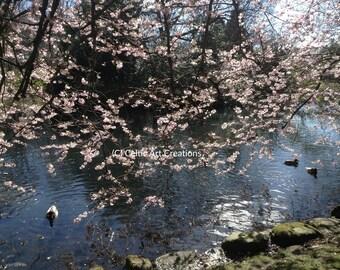 Apple Blossom, Kelvingrove Park