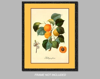 Botanical Print - Albergier Franc - 8x10, 11x14, and 16x20 - Wall Art - Digital Matte - Ready to Frame, Vintage Home Decor