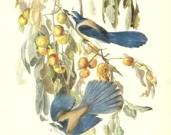 10 Old 1937 JOHN JAMES AUDUBON The Birds Of America Book Plates