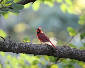 A Beauty Of Nature Adult Male Cardinal Wildlife Photography Fine Art Print Scott D Van Osdol Tree Branch Resting Perched State Bird Indiana