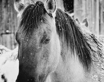 Snowy Horse Sleep, Black and White Horse Photograph, Western Horses Wall Art, Physical Print