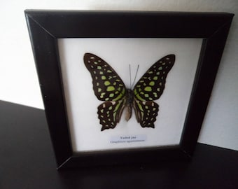 Taxidermy Real Butterfly Tailed Jay Picture Framed Lepidoptera Entomology Zoology Collectable