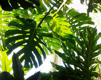 Monstera Deliciosa Print, Tropical Leaf Art Print, Abstract Photography, Modern Decor, Tropical Wall Art