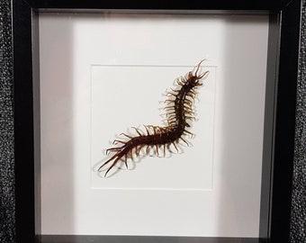Giant centipede Dorcus Dehaani 18 cm