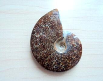Ammonite. Fossil of ammonite. Lithotherapy. Interior decoration.