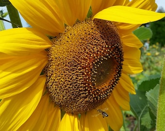 Summer Sunflower and Flying Honey Bee, Save the Bees Nature Conservancy Donation Fine Art Photograph