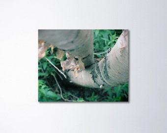 Birch Tree Wall Art, Birch Tree Art, Canvas Art Nature, Abstract Art, Canvas Wall Art, Tree Trunks, Nature Photography On Canvas