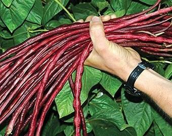 Yard Long Giant Bean 10 Seeds     ,Red Bean 1 Meter''    by Samenchilishop
