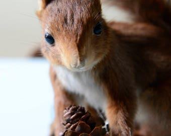 Vintage Lovely Eurasian Red Squirrel (Sciurus vulgaris) Taxidermy, Germany, pre 1947
