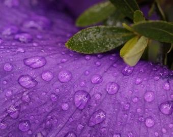 Iris in Rainstorm