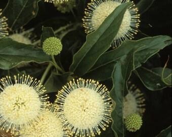 1 Native Buttonbush Seedling