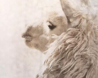 8x10 alpaca animal photography magical winter scene