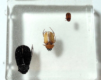 Large Real Insect Beetle Trio Cabochon Creepy Resin Taxidermy Halloween Decoration Arachnology Entomology Specimen A2