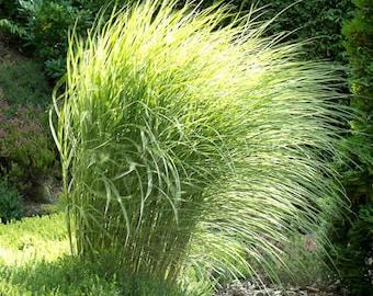 Maiden Grass 'Morning Light' - 1 Gallon