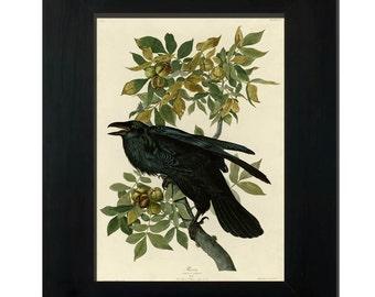 "Antique illustration of Raven by John James Audubon - framed fine art print, botanical art, home decor 8""x10"" ; 11""x14"", FREE SHIPPING"