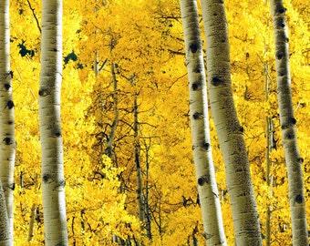 Aspen tree fall photo, fall tree art, fall home decor, aspen trees fall, Colorado art, fall wall decor, rustic wall decor | Striking It Rich