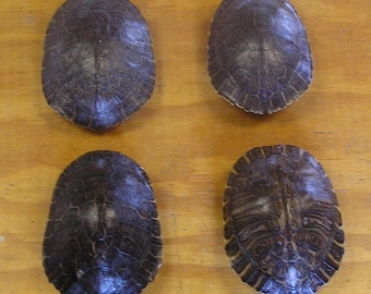 """4 - 7"""" River Cooter Turtle Shells"""