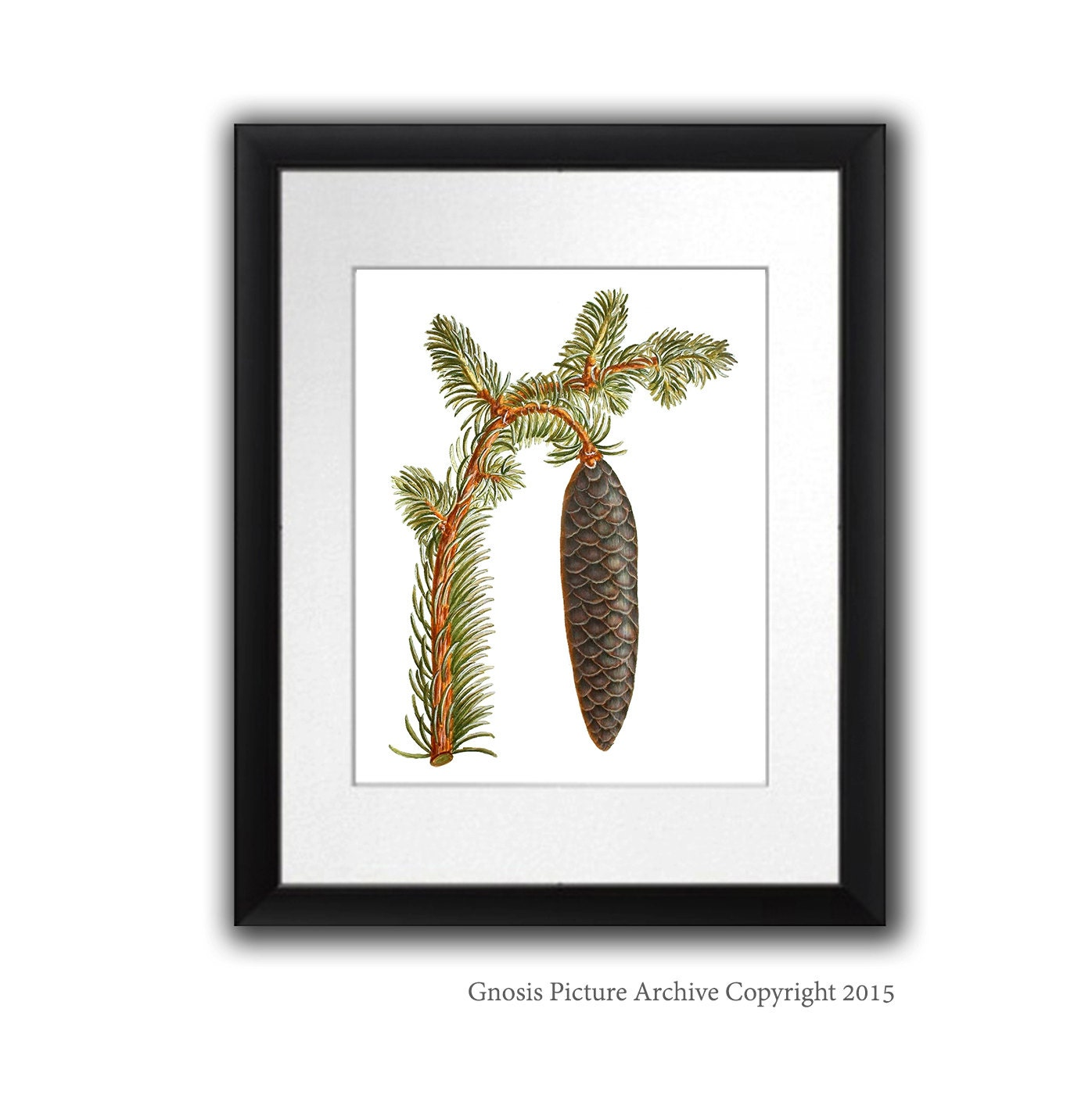 Antique Botanical Art Wall Hanging Conifers Print 12 Pinecone