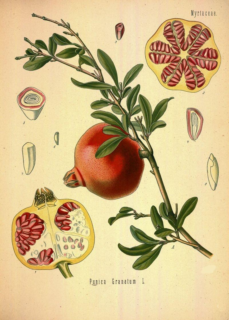 Mobili antichi francesi botanica stampa melograno frutta - Mobili antichi francesi ...