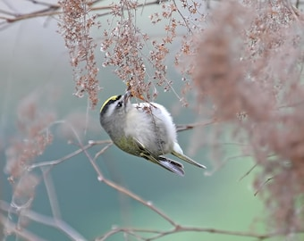 Bird Photography, Golden Crowned Kinglet, Small Bird Prints, Birdwatcher Gift, Small Bird Photography, Gift for Birder, Nature Print