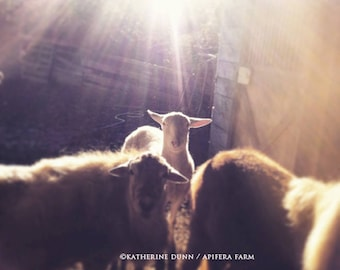 Light on the lamb