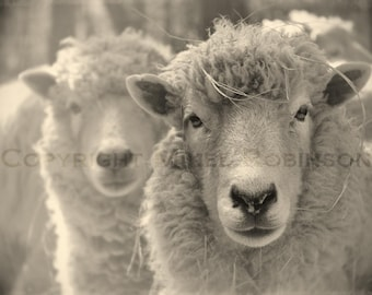 Sheep Head. Black and White. Sepia. Original Digital Photograph. Wall Art. Wall Decor. Giclee Print. WOOLY by Mikel Robinson
