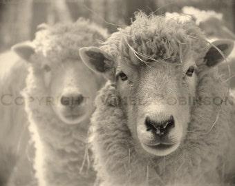 Tête de mouton. Noir et blanc. Sépia. Photographie numérique originale. Art pariétal. Decoration murale. Giclee Print. WOOLY par Mikel Robinson