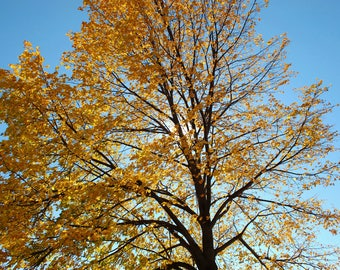 Blue sky and yellow tree
