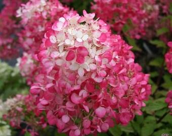 Vanilla Strawberry® Hydrangea 3 Gallon Plant