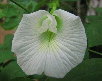 Clitoria Ternatea,Butterfly Pea Flower, WHITE, 10 seeds