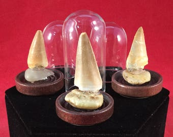 1 Fossilized Genuine Mosasaurus Tooth Fossil Glass dome display Dinosaur lizard