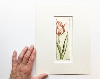 original color etching of a striped tulip