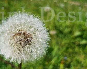 Dandelion Photography Dandelion Photo Digital Photography Digital Download Instant Download Floral Photo Flower Dandelion Macro Photography