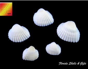 "1 lb (about 200) White Cup Shells (3/4""- 1 1/4"") Beach Wedding Decor Coastal Nautical Crafts"