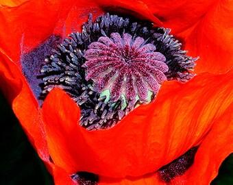 Red Flower Photograph,Red Flower Photo, Red Flower Picture,Picture of Red Poppy Flower,Photo of Poppy Flower,Photograph of Red Poppy Flower