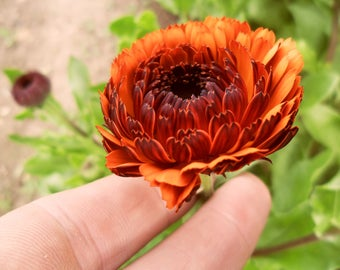 Calendulla Indian Prince (Rare Plant) 25 seeds