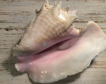 """Vintage 60's Strombus Lobatus Gigas 11"""" Large Pink Queen Conch Sea Shell"""