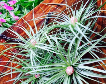 Tillandsia Soft Leaf Stricta Air Plant  - Pink Bloom ~ 4 - 6 inches ~ No soil needed - Not always In Bloom ~ Plant only