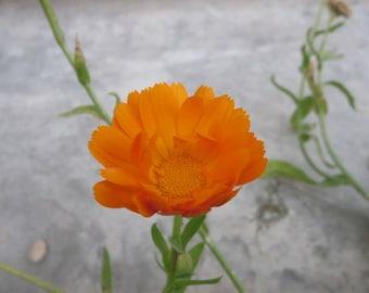 Medicinal Calendula Seeds - Medicinal herb, Calendula Officinia, Orange Calendula, Organic Calendula, medicinal plant, herb seed, herbal tea